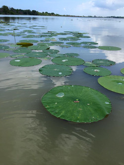 Lily Pads Portage River Port Clinton