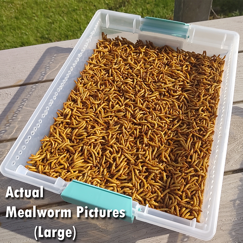 250 Live Mealworms - FREE Shipping! Bulk, Grown Organic in Florida - Large