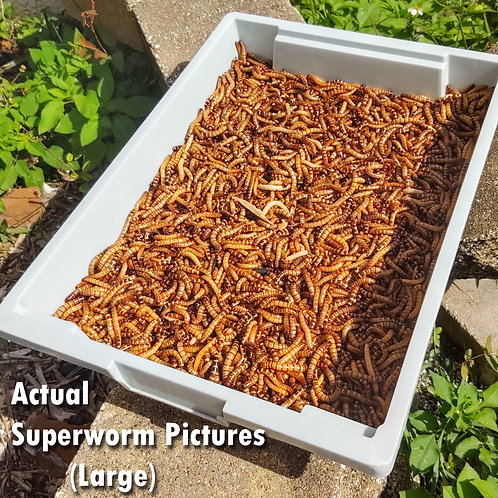 50 Live Superworms - FREE Shipping! Bulk, Grown Organic in Florida - Large