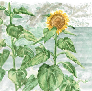 Backyard Sunflowers