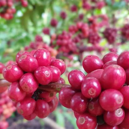 Pesquisa e clima favorecem o plantio de café em Rondônia e promove transformação social na Amazônia