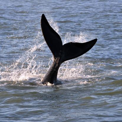 Temporada de avistamentos das baleias francas em Imbituba-SC encanta turistas e moradores da região