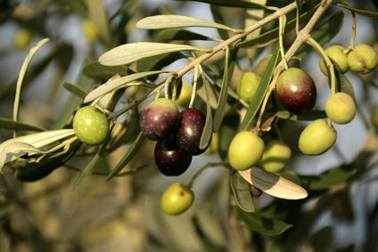 planter-olivier