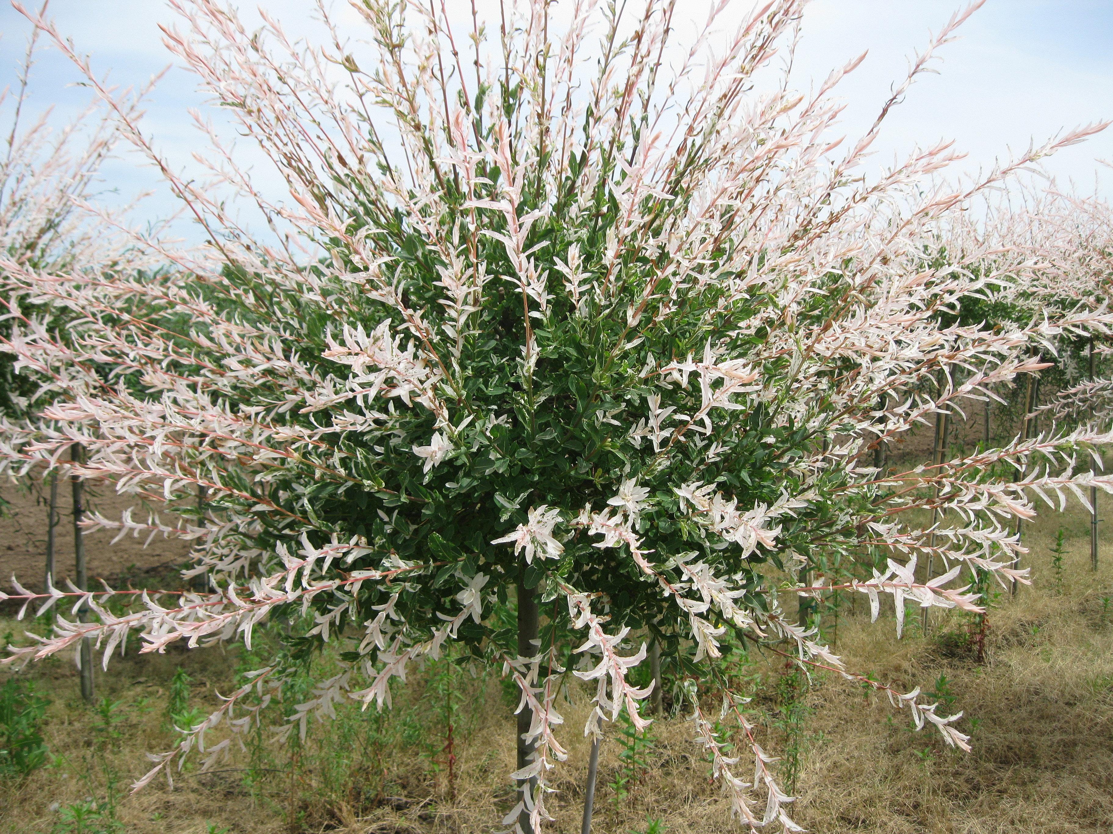 Milesnursery salix integra 39 hakuro nishiki 39 - Salix hakuro nishiki taille ...