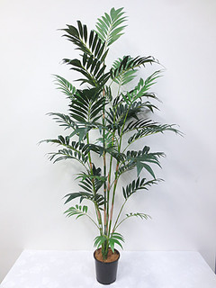 Bamboo Palm (6ft)