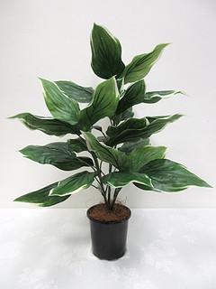 Hosta Plant (2.25ft)