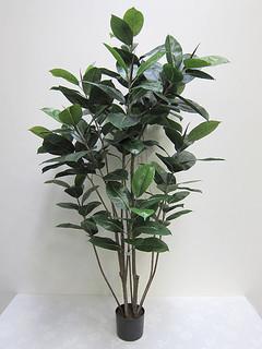 Rubber Plant (5ft)