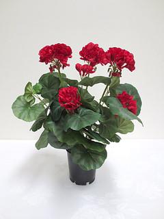 Geranium Bush (14in) [Red]