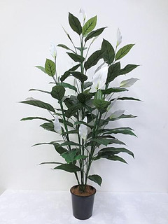 Peace Lily (5ft)