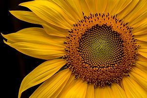 Morning, Sunflower