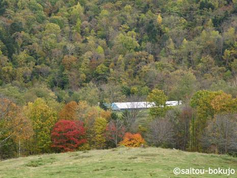紅葉と牛舎