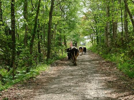 牧場への道と牛さん