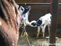 calf2.jpg