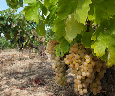 IMG522_Rioja_Harvest_TTS_Sept_10_Soils,_