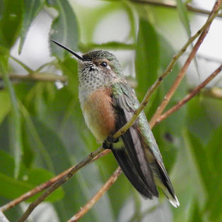 Broad-tailed Hummingbird at Rest