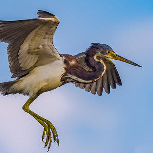 Magnificent Tricolored Heron in Flight