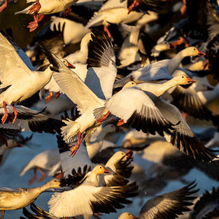 Flight of the Geese