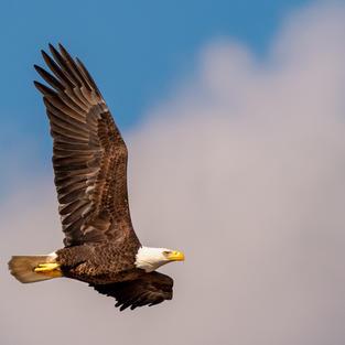 The Eagle Salute