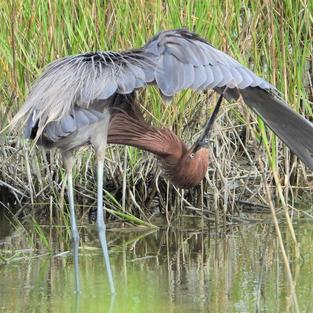 Bird Yoga! Reddish Egret