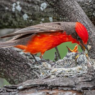 Vermilion Flycatcher Feeding Babies