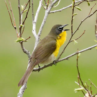 Call of the Yellow-breasted Chat
