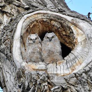 Twin Owls
