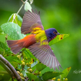 Painted Bunting Flying