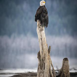 Perched Chilkat River Bald Eagle