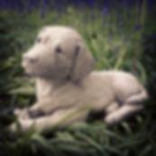 Labrador and Bone