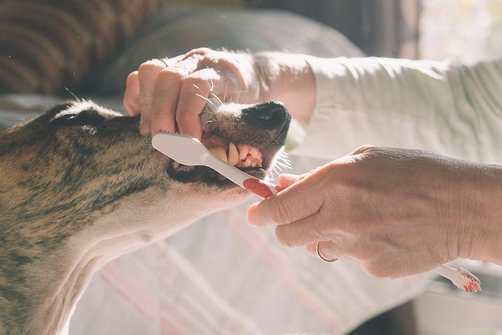 犬の歯を磨きます