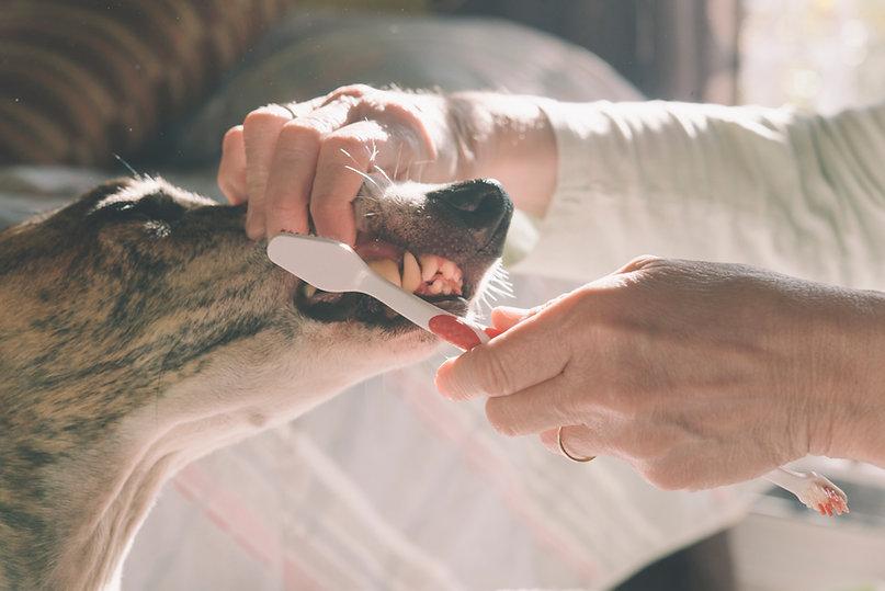 Brushing Dog's Teeth - pet dental care