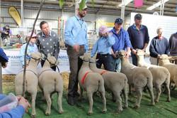 Pair of ewes