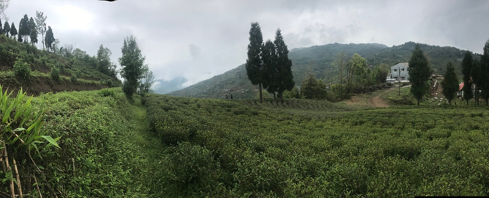 Tea factory and tea fields in Ilam, Nepal