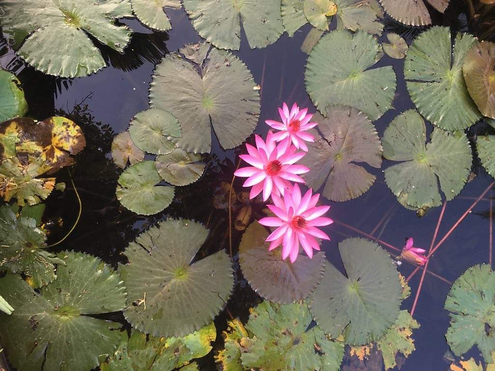 Pink water lilies and lily pads in a pond.