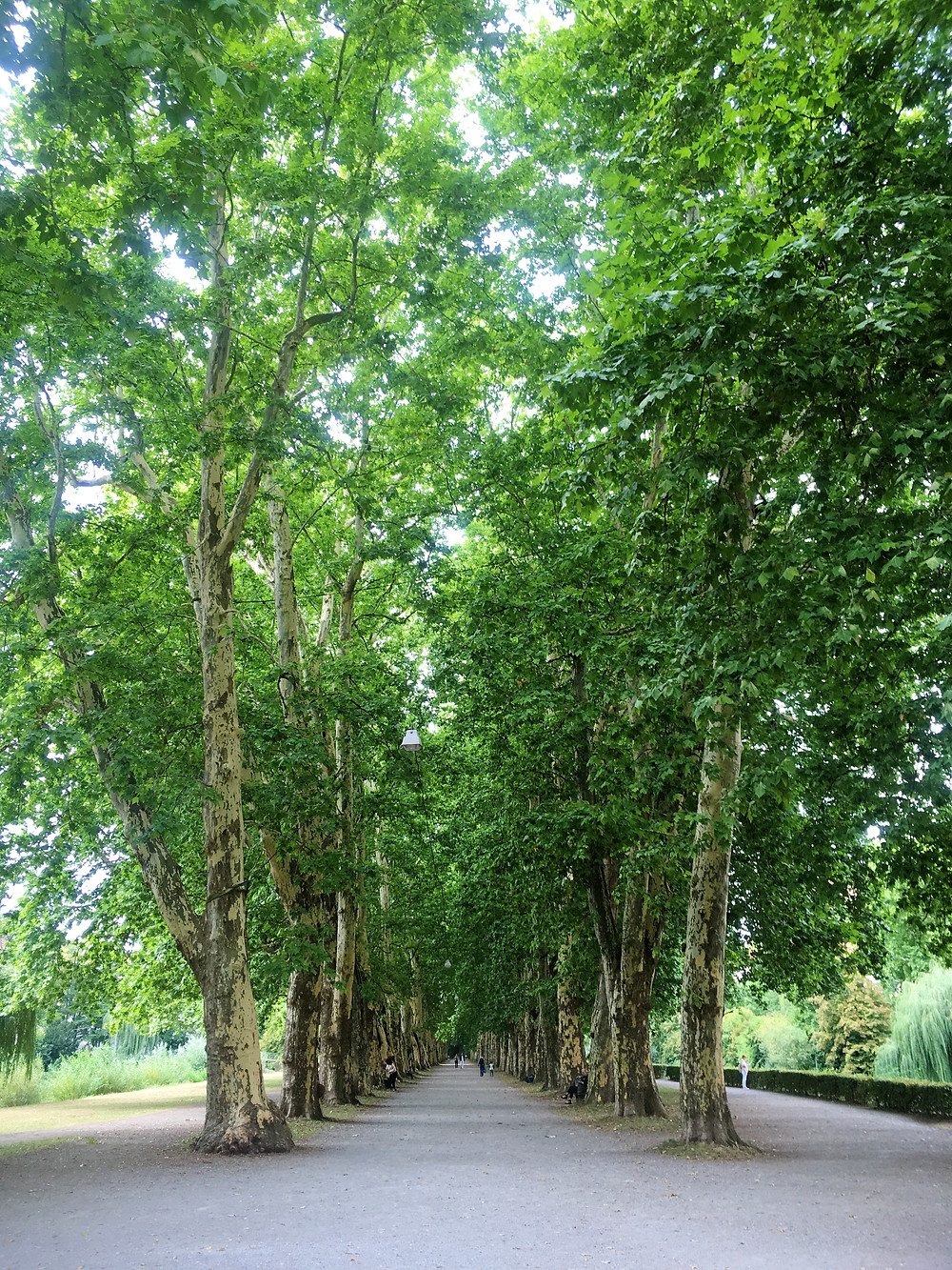 Plantanenallee tree cathedral walkway