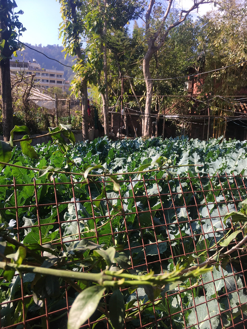 kale garden in rishikesh at ramanas cafe.