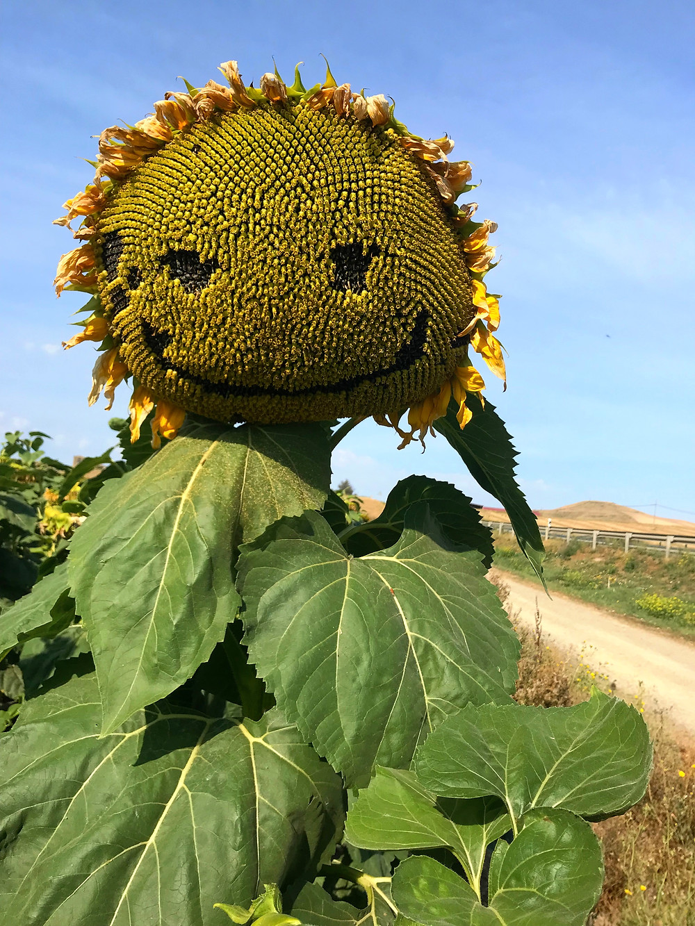 Happy Face on Sunflower
