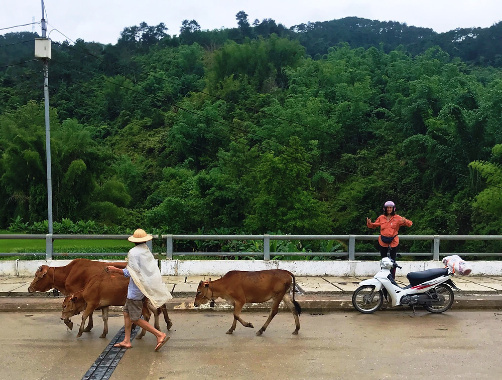 motorcycles and cows on the Ha Giang loop, northern vietnam