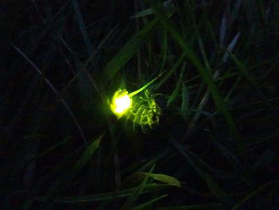 luciole jardin Gauthier.jpg