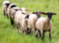 Sheeple with tags