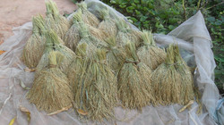 semences  de riz séchées.JPG