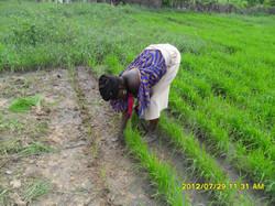 femme dans le semi de riz.JPG