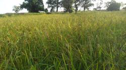 champs de riz en pleine essor.JPG