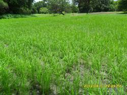 champs de riz   en gestation.JPG