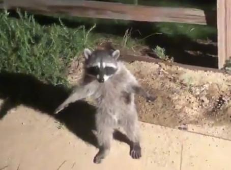 Momento en que dos mapaches fingen ser estatuas al ser descubiertos en un jardín