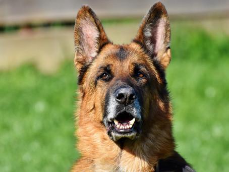 Dos perros salvan a una mujer al detectar que tenía cáncer