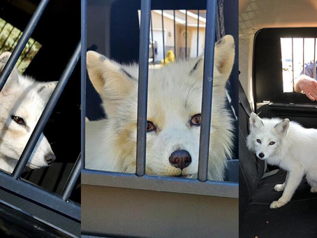 Llaman a un policía para capturar un 'perro' pero resulta ser un animal salvaje