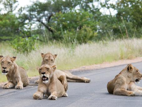 Leones duermen confiados en la carretera de un parque nacional en plena cuarentena por el covid-19