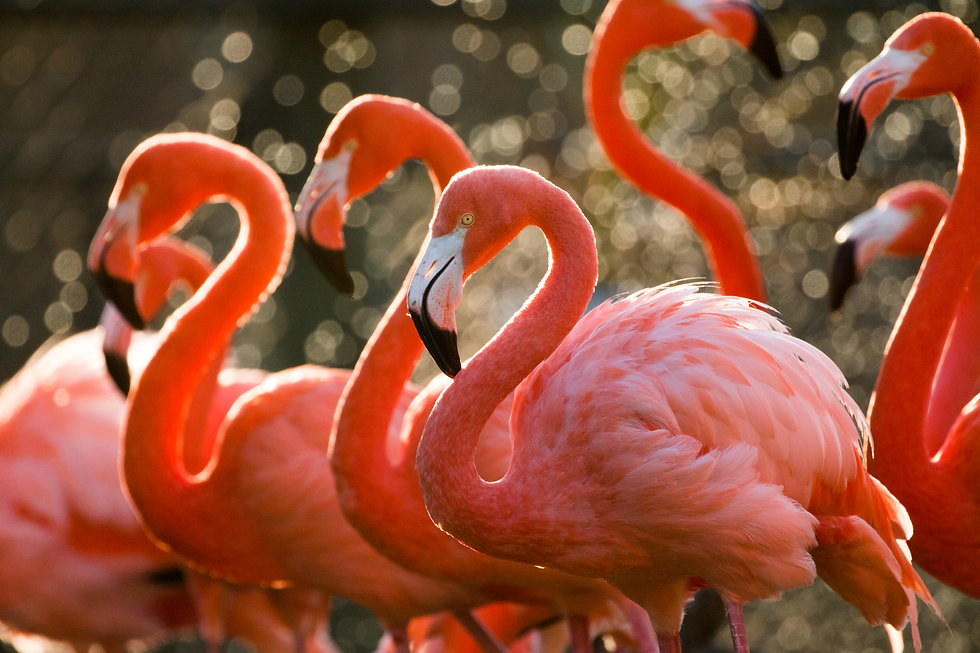 American_Flamingos_KG_Lubbock.jpg