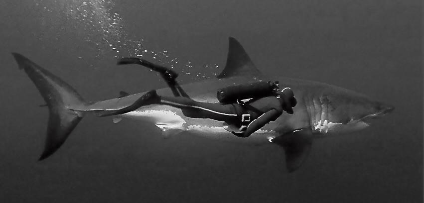 Diver swims beside a White Shark